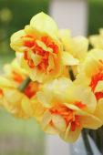 Narcissus Shinto
