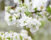 Prunus domestica Opal