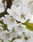 Prunus avium Merchant