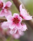 Prunus persica Peregrine