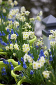Narcissus Minnow, Muscari