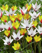 Tulipa clusiana, Tulipa clusiana var. chrysantha Tubergen's Gem