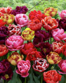 Tulipa double mix