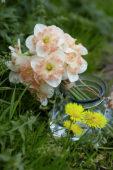 Narcissus Pink Wonder
