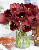 Tulipa Dom Pedro