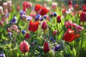 Tulipa, Anemone coronaria