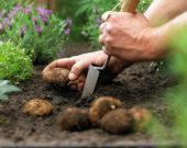 Planting summer bulbs, Begonia