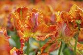 Tulipa Blumex Favourite