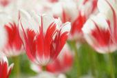 Tulipa Sorbet