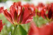 Tulipa red