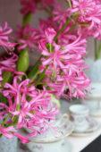 Nerine pink