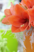 Hippeastrum orange