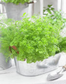 Mixed herbs, parsley