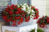 Begonia Beauvilia red, white