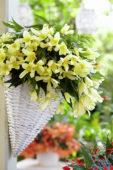Begonia Beauvilia Lemon
