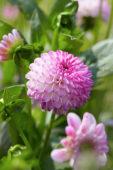 Dahlia Pink Isa ®