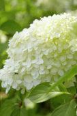 Hydrangea paniculata Limelight ®