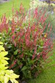 Persicaria amplexicaulis Orangofield