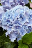 Hydrangea Spike ® Blue