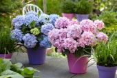 Hydrangea Spike ® Blue, Pink