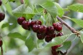 Prunus avium Regina