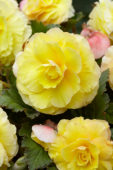 Begonia Superba yellow