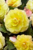 Begonia Superba geel