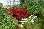 Begonia semperflorens, Impatiens