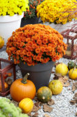 Chrysanthemum collectie