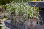 Carex on pot