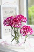 Dianthus in vase