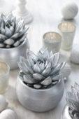 Echeveria silver