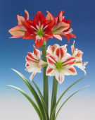 Hippeastrum 1419, Ambiance