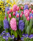 Tulipa Leo Visser, Hyacinthus gemengd