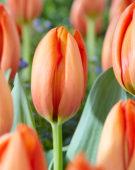 Tulipa Orange Balloon