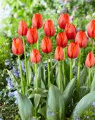Tulipa Worlds Fire