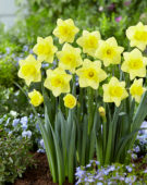 Narcissus Golden Salome