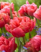 Tulipa Adore