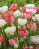 Tulipa Annelinde, Tulipa Candy Cane