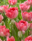 Tulipa Candy Cane