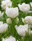 Tulipa Annelinde