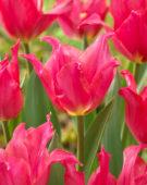 Tulipa Pretty Love