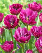 Tulipa Abigail