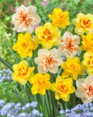 Narcissus dubbelbloemig gemengd