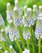 Muscari Lady Blue