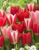 Tulipa Delight mix
