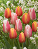 Tulipa Apeldoorn's Elite, Beau Monde
