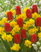 Tulipa Fostery King, Narcissus Quail