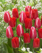 Tulipa Candy Apple Delight, Fostery King