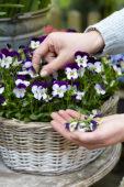 Uitgebloeide Viola bloemen verwijderen
